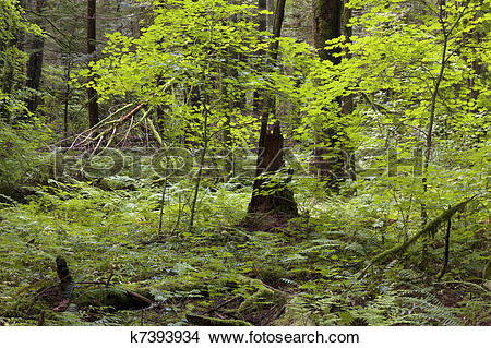 Stock Photo of Primeval forest k7393934.
