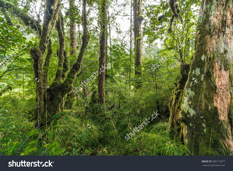 Gongga Mountain Primeval Forest Stock Photo 590115677.