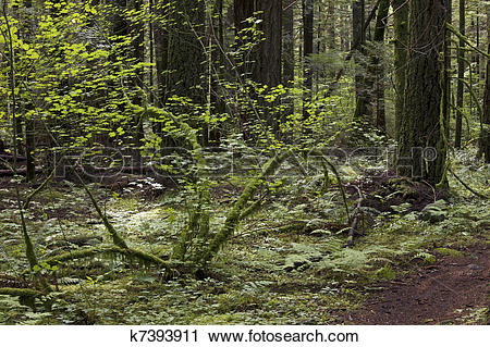 Stock Photography of Primeval forest k7393911.