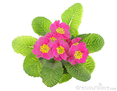Pink Primrose Above View Stock Photos, Images, & Pictures.