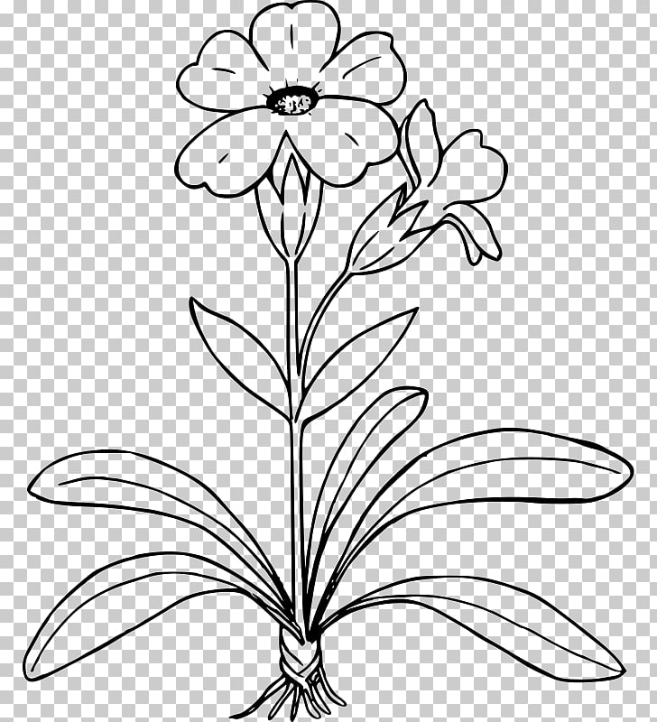 Drawing Primrose , plant drawing PNG clipart.