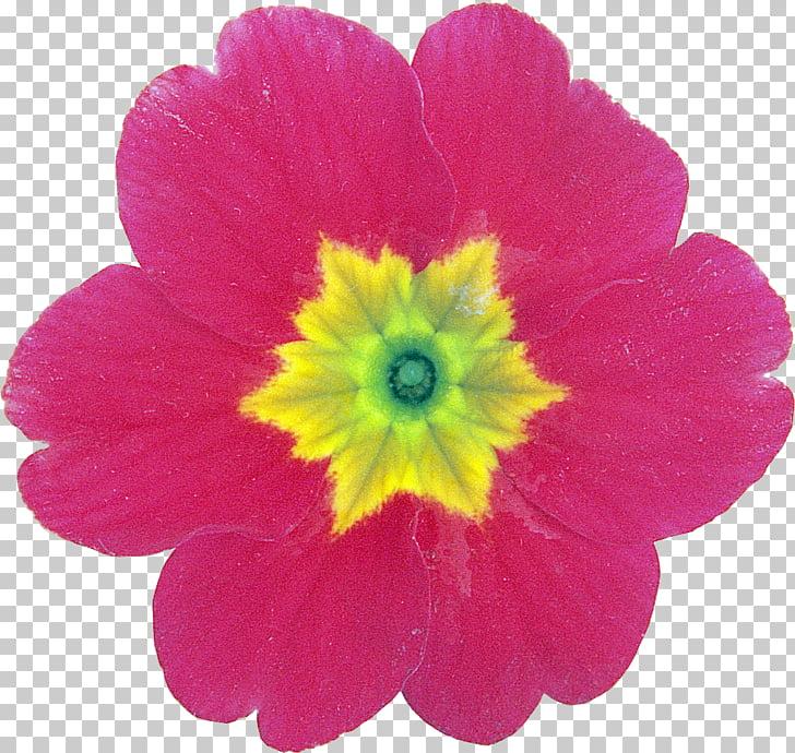 Flower Petal Primrose , flower PNG clipart.