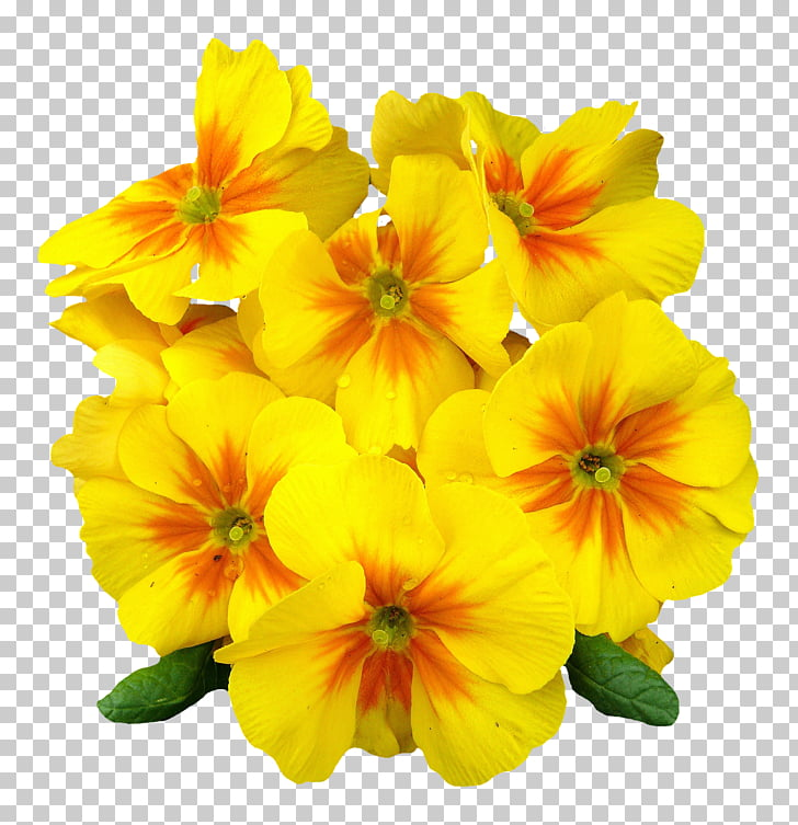 Flower Petal , Primrose Flower, yellow.