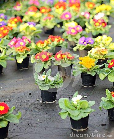 Violets And Primrose Stock Photo.