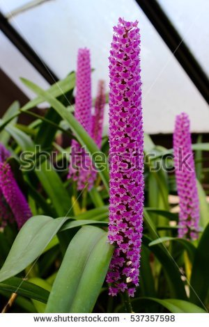 Early Purple Orchid Stock Photos, Royalty.