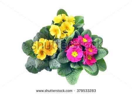 Primrose Pot Stock Photos, Royalty.