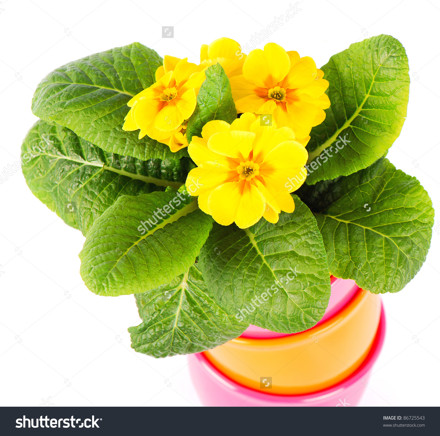 Beautiful Yellow Primroses Colorful Buckets Spring Stock Photo.