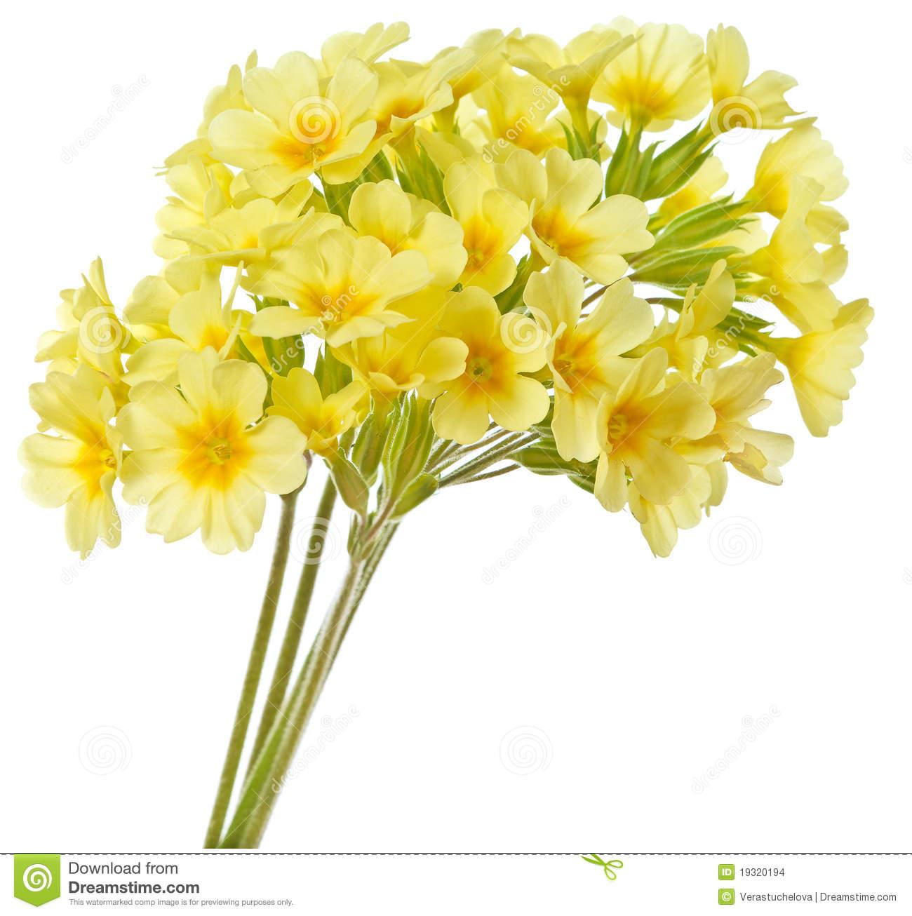Yellow Primrose Stock Images.