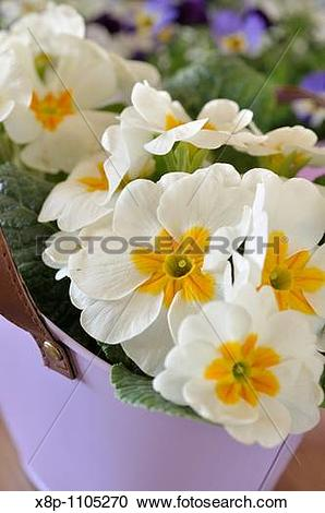 Stock Photography of Primrose Primula vulgaris syn Primula acaulis.