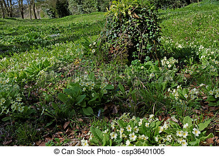 Stock Photography of Wild Primroses (Primula Vulgaris) in a UK.