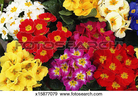 Stock Photograph of Overhead view of many colorful Primrose.