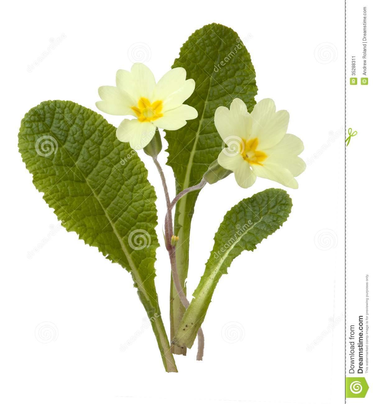Primrose, Primula Vulgaris Stock Image.