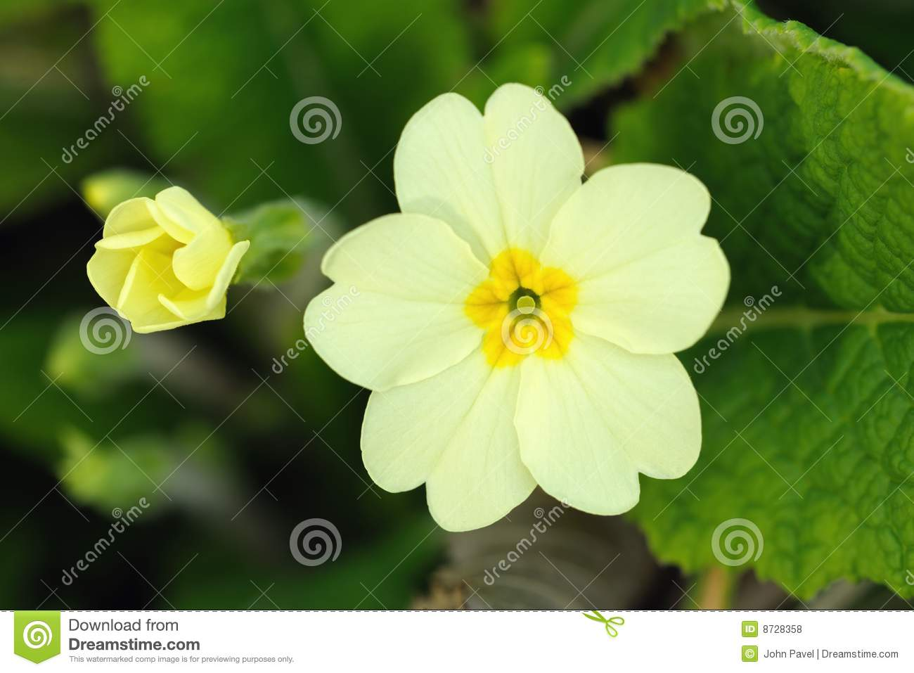 Primrose Flower And Bud (primula Vulgaris) Royalty Free Stock.