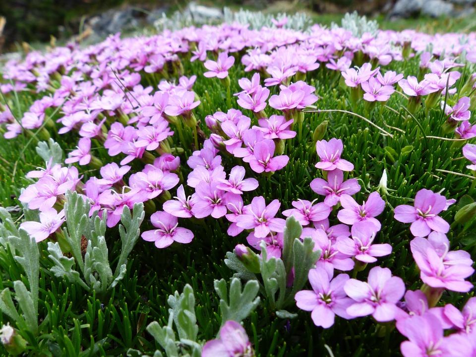 Free photo: Primula Catchfly, Blossom, Bloom.
