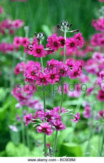 Pink Primula Spring Stock Photos & Pink Primula Spring Stock.