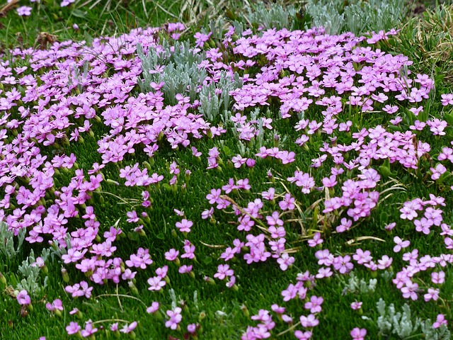 Free photo Bloom Blossom Pink Primula Catchfly Flowers.