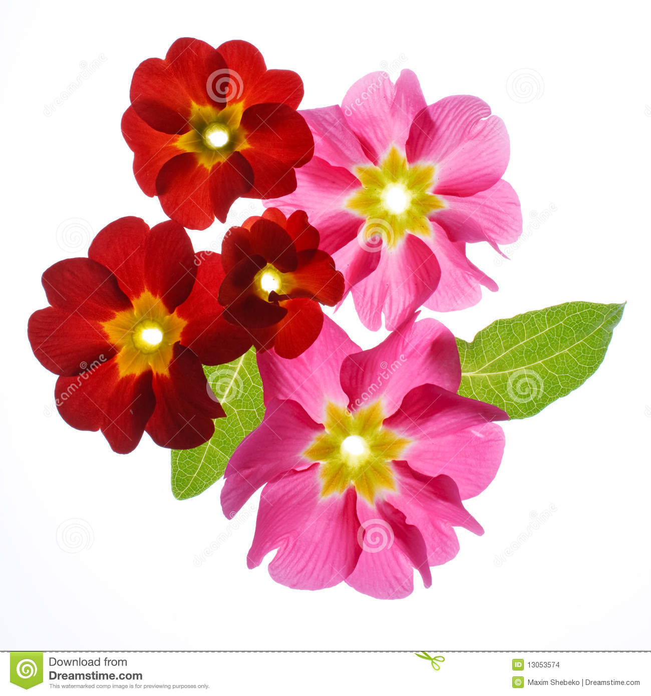 Primula Flowers Stock Images.