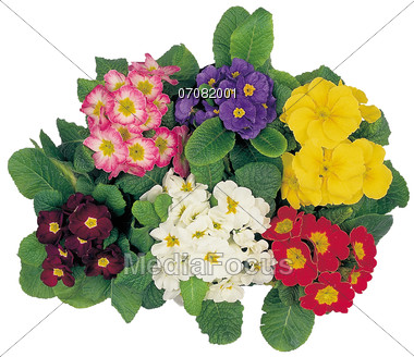 Stock Photo Flower Pots with Primula Clipart.