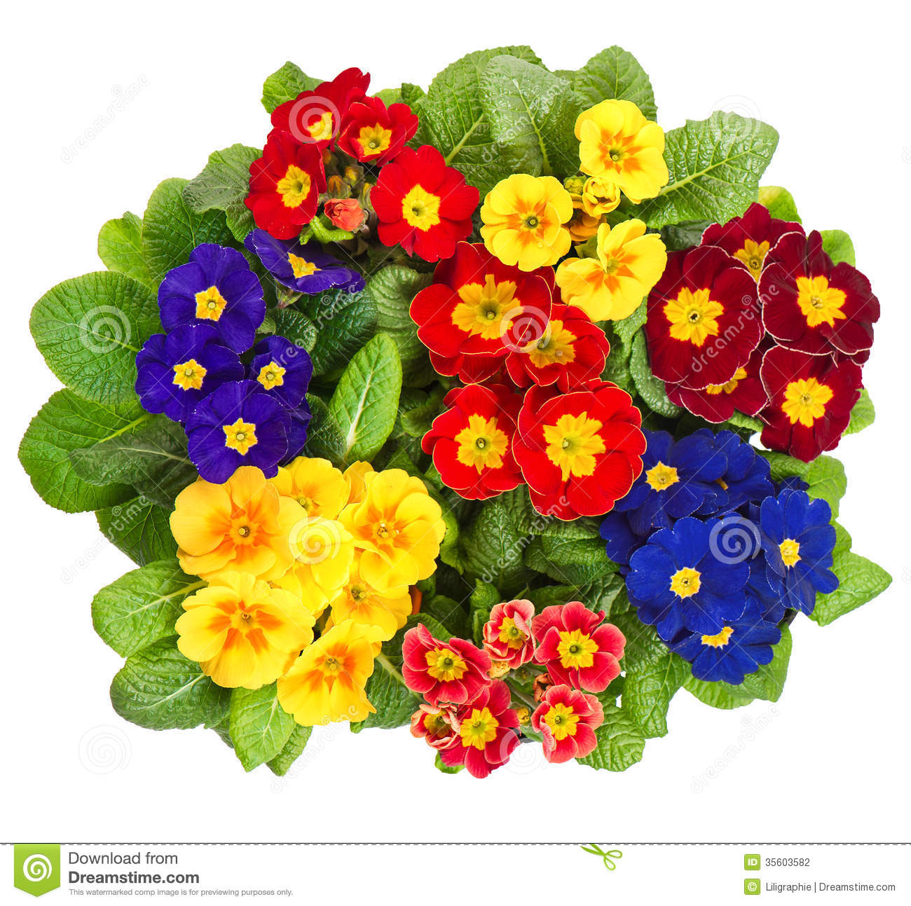 Assorted Primula Flowers Isolated On White Stock Photography.