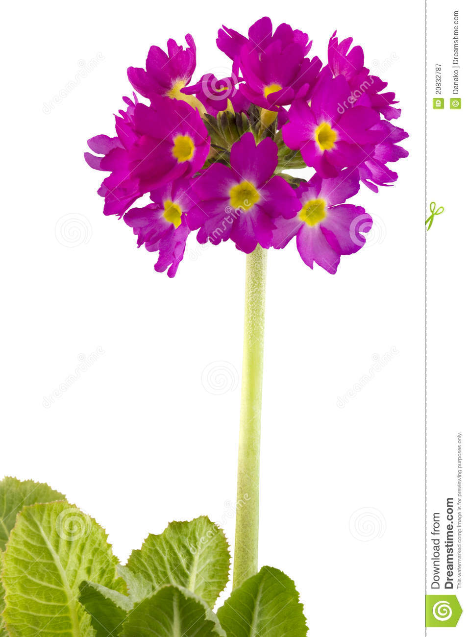 Primula Royalty Free Stock Photography.