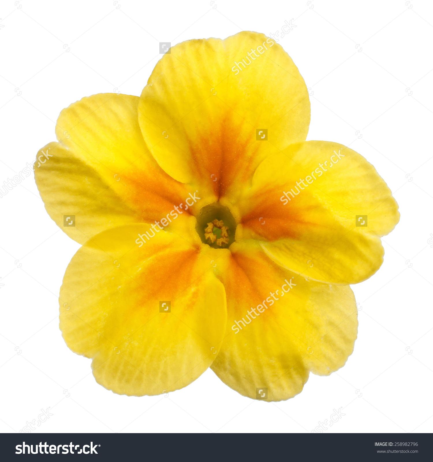 Yellow Primula Primrose Isolated White Background Stock Photo.