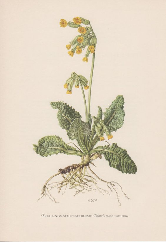 1953 Primula veris, Antique Botanical Print, Vintage Lithograph.