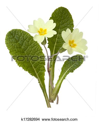 Stock Photo of Primrose, Primula vulgaris k17282694.