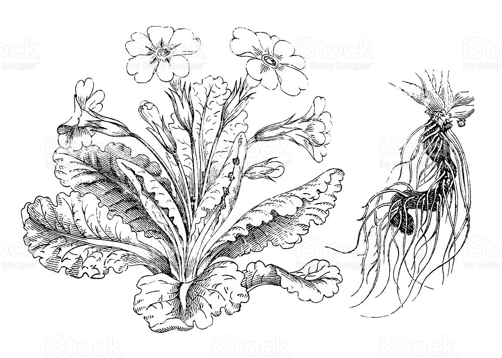Antique Illustration Of Primula Vulgaris stock vector art.