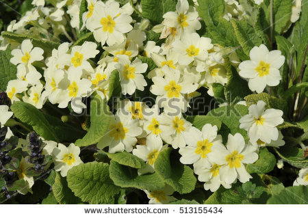 Primula Vulgaris Stock Photos, Royalty.