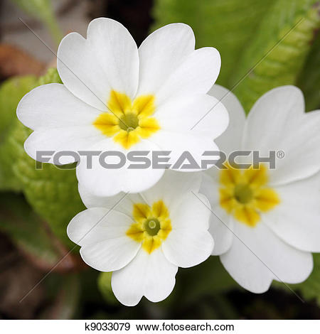 Stock Photograph of Primula vulgaris k9033079.