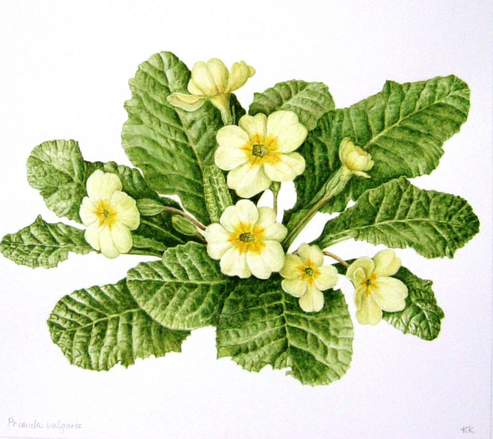 Primula Vulgaris or Common Primrose.