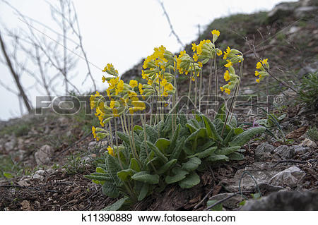 Stock Photograph of herbaceous perennial plant (primula vulgaris.
