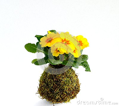 Kokedama Primula Vulgaris Stock Photo.