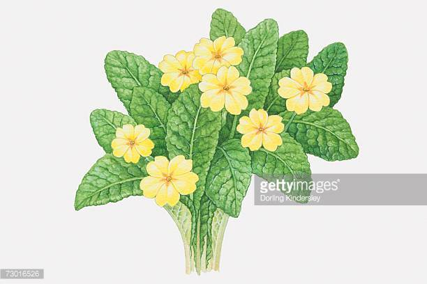 Illustration Of Primula Veris Yellow Flowers And Leaves Stock.