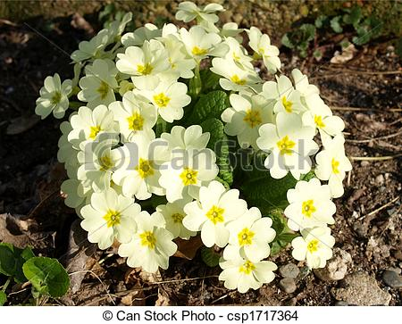 Stock Photo of Primula.