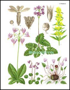 Çuha çiçeği (Primulaceae).