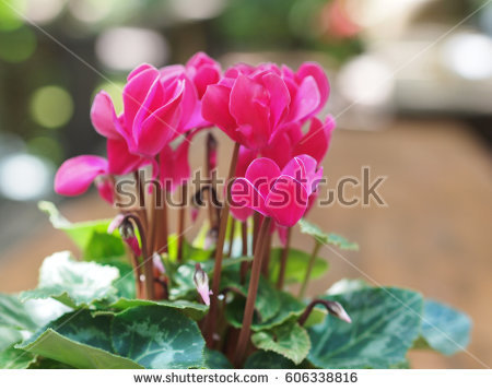 Primulaceae Stock Images, Royalty.