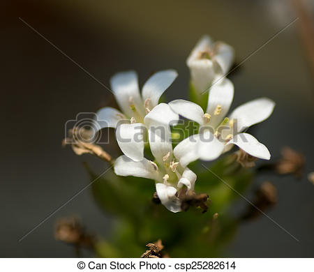 Stock Photography of Lysimachia mauritiana, Primulaceae, Japan.