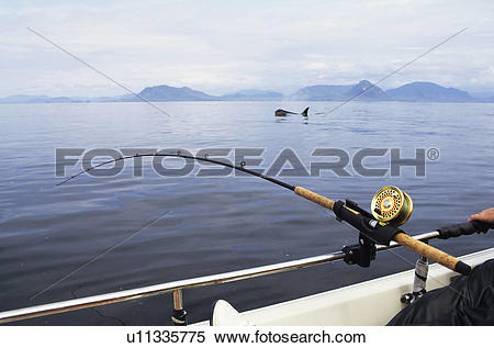 Stock Image of Salmon fishing with killer whale swimming by, Work.