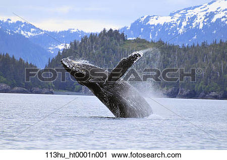 Stock Photography of Humpback wale breaching in Prince William.