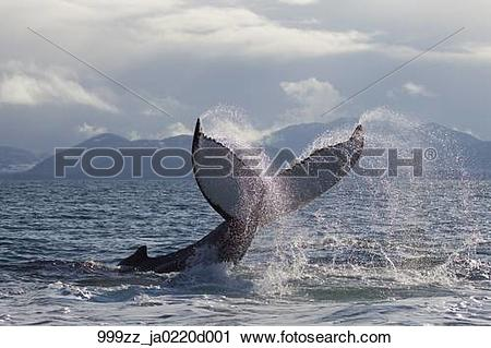 Stock Photography of Humpback whale tail slapping surface of.