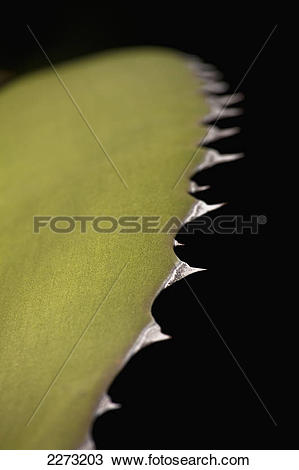 Stock Photo of Edge of an exotic cactus plant; principality of.