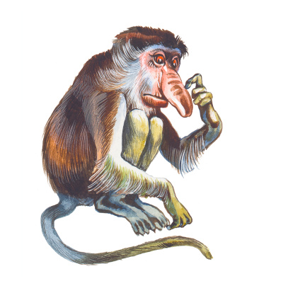 Proboscis Monkey Clip Art, Vector Images & Illustrations.