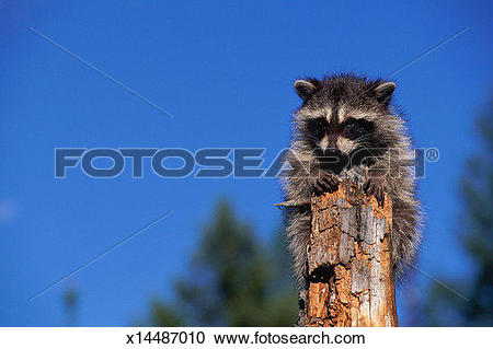 Stock Photography of Raccoon (Procyon lotor) at top of tree stump.