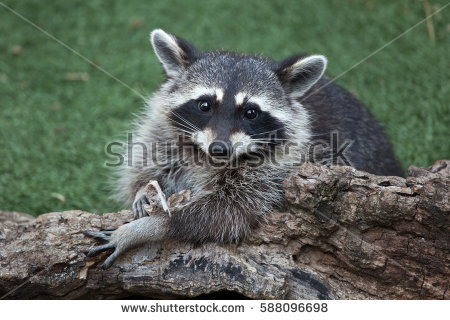 Raccoon Stock Images, Royalty.