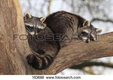 Pictures of two raccoons on branch / Procyon lotor 163688.