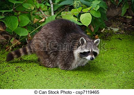 Stock Images of Racoon, Procyon lotor, sitting in a water pit and.