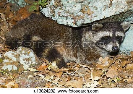 Stock Photo of Racoon (Procyon lotor) u13824282.