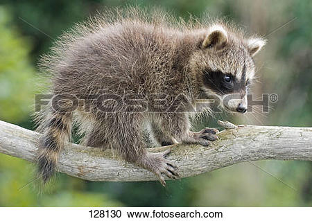 Stock Photography of young raccoon.