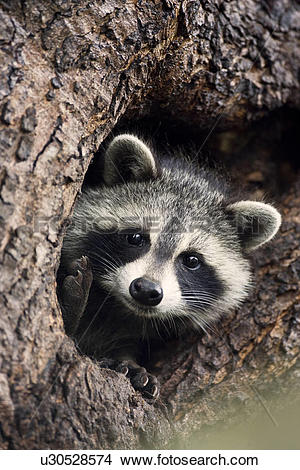 Stock Photo of Common Raccoon (Procyon lotor) in its den in a.